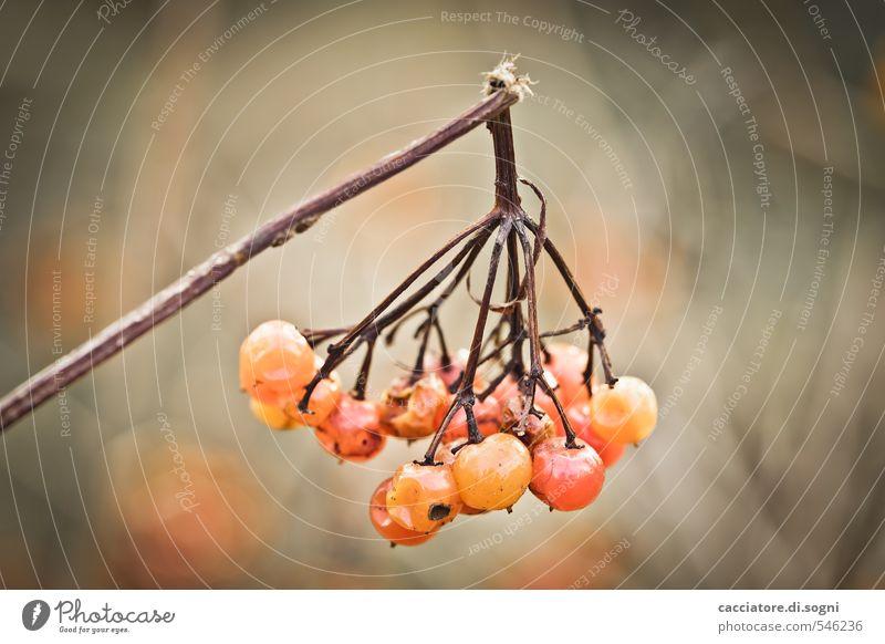 Das Ende ist nahe Natur Pflanze Herbst Schönes Wetter Beeren Ast Zweig kaputt klein natürlich rund braun orange Opferbereitschaft demütig Traurigkeit Trauer