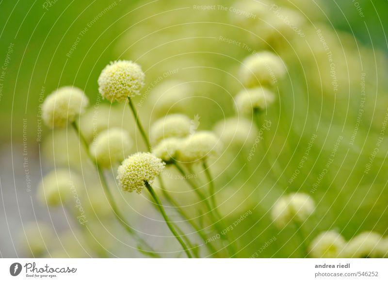 Olivenkraut Natur Pflanze grün Sommer weiß Blume Erholung Blatt ruhig Umwelt Blüte Garten Lebensmittel Zufriedenheit wandern Sträucher