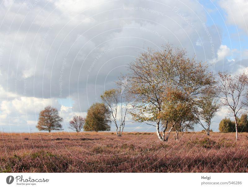 Herbst im Moor... Umwelt Natur Landschaft Pflanze Himmel Wolken Baum Sträucher Wildpflanze Heidekrautgewächse Birke Sumpf Blühend stehen verblüht Wachstum