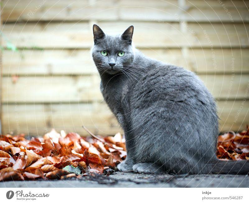 Freigänger Katze schön Blatt Tier Wand Gefühle Herbst Mauer grau Garten braun Zufriedenheit sitzen warten Gelassenheit Haustier
