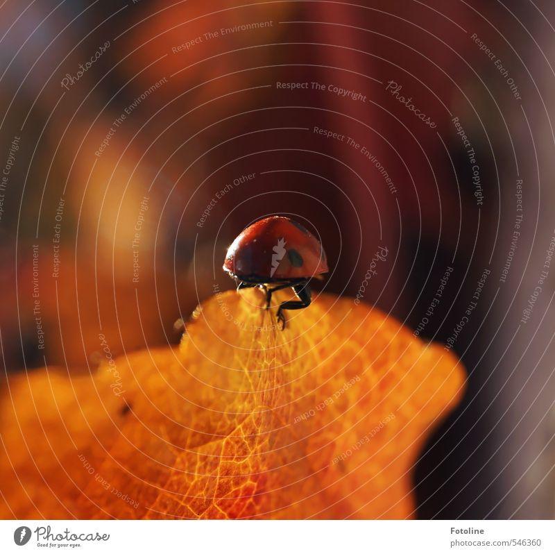 Happy Birthday Photocase | Viel Glück Umwelt Natur Pflanze Tier Herbst Blatt Käfer hell klein nah natürlich rot schwarz Herbstlaub krabbeln Marienkäfer Farbfoto