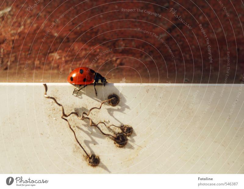 Auf der Mauer... Umwelt Natur Tier Herbst Käfer 1 klein nah natürlich rot schwarz weiß Marienkäfer Farbfoto mehrfarbig Außenaufnahme Menschenleer