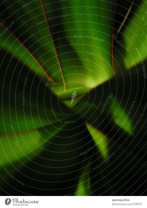 Verschlungen grün schwarz durcheinander grell Zimmerpflanze Gerandeter Drachenbaum