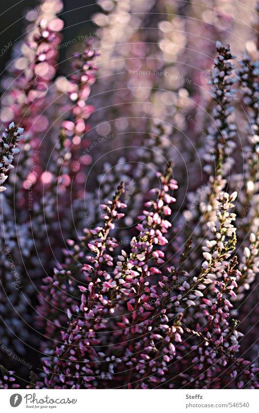 Lichtstimmung Natur Pflanze schön Stimmung rosa glänzend Sträucher Fröhlichkeit Blühend violett Lichtspiel Heide Blendeneffekt lichtvoll Lichteffekt Gefühle