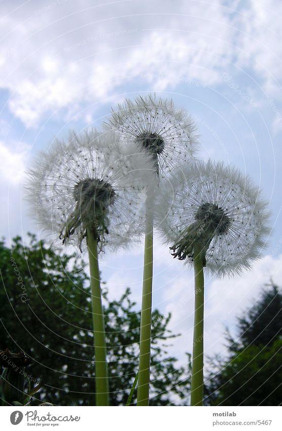 3 pusteblumen Blume Löwenzahn