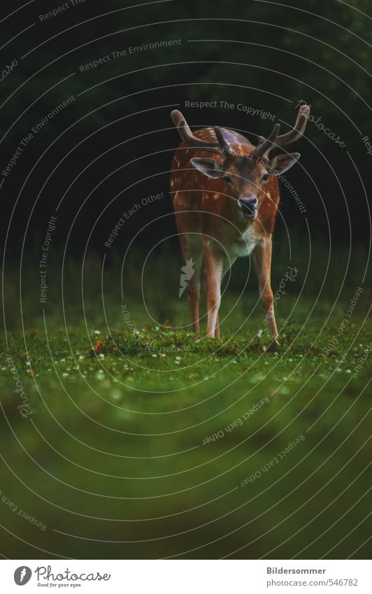 no need to hide, my deer Natur grün Pflanze ruhig Tier schwarz Wald Wiese Frühling grau braun Feld Kraft Wildtier stehen beobachten