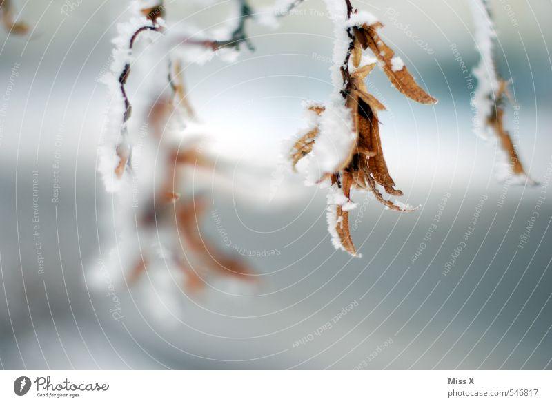 Eisig Winter Wetter schlechtes Wetter Frost Schnee Schneefall Blatt dehydrieren kalt Gefühle Stimmung Traurigkeit Trauer Tod Erschöpfung Winterstimmung