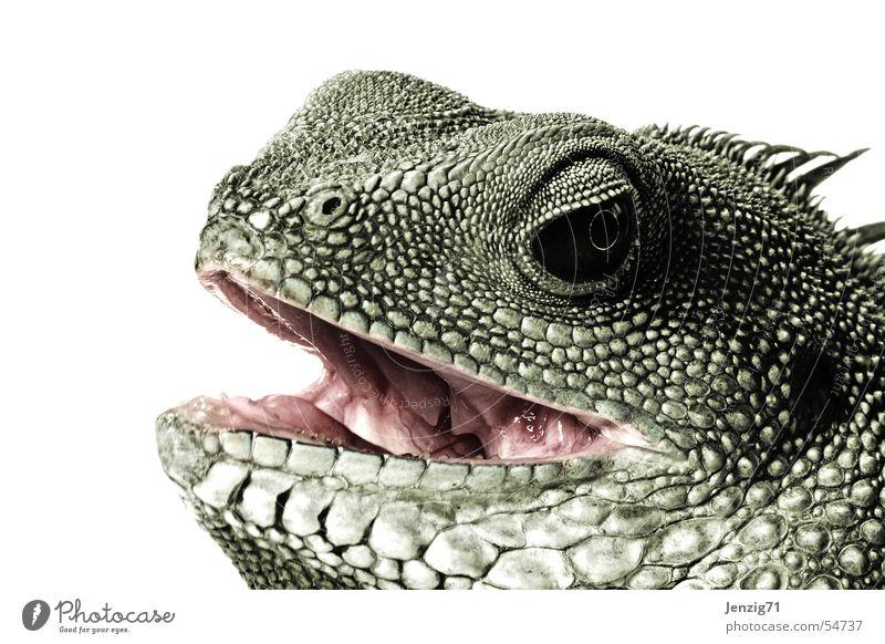 Ich beiße Dich nochmal. Auge Tier Gebiss Scheune beißen Maul Reptil Echsen Echte Eidechsen Agamen Wasseragame
