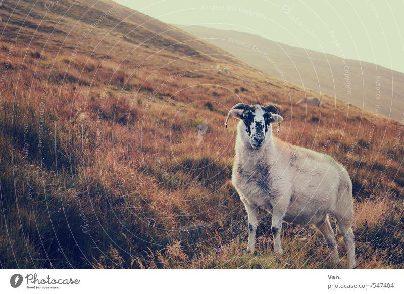 Das ist mein Hügel! Himmel Natur Pflanze rot Landschaft Tier Wärme Herbst Gras Sträucher Schaf Nutztier