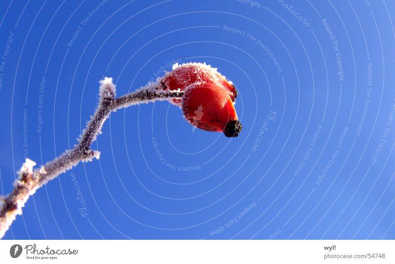 Frostüberzogene Hagebutte Marmelade kalt Winter Eis gefroren rot weiß tiefgekühlt 2 Zweig Ast Blütenknospen Frucht Kristallstrukturen Schnee Coolness Himmel
