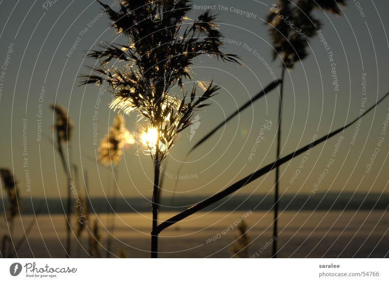 Schilf Schilfrohr Licht ruhig kalt See gefroren Ammersee Bayern Sonnenuntergang unberührt schön Stimmung Winter tiefstehend Sehnsucht Romantik Außenaufnahme
