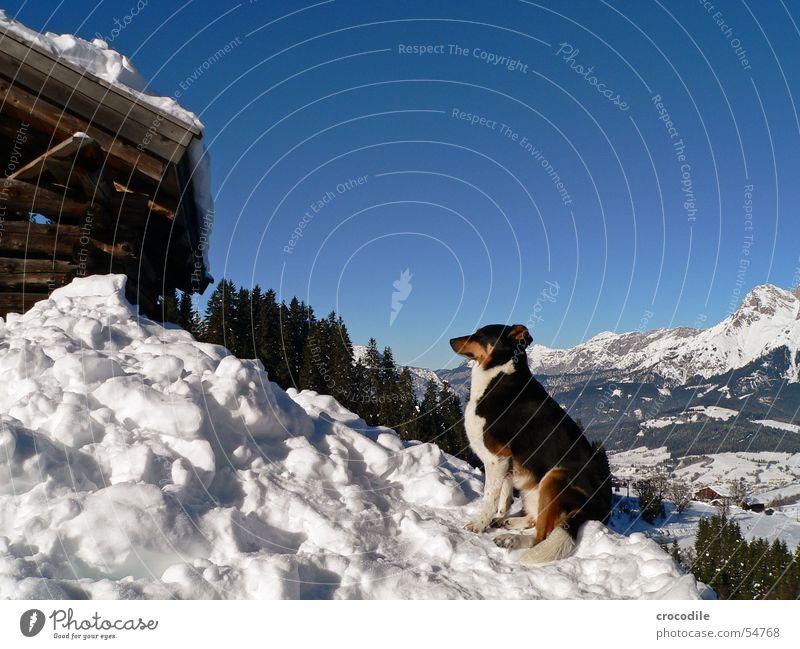 Gipfelstürmerwauwau Himmel weiß Baum Sonne grün blau Winter Schnee Berge u. Gebirge Holz grau Hund braun Hütte Säugetier Schwanz
