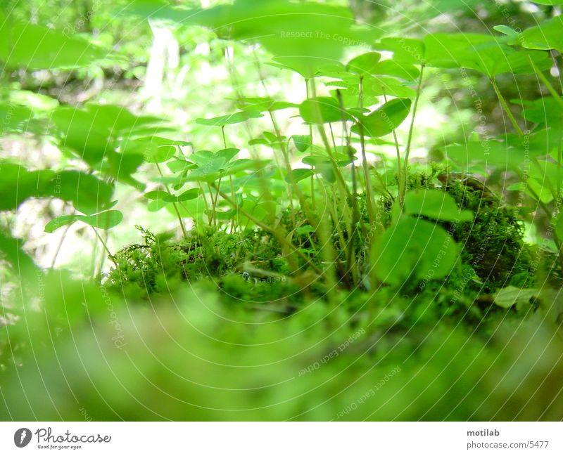 Der Zwerg im Kleeblattland grün Klee Blume