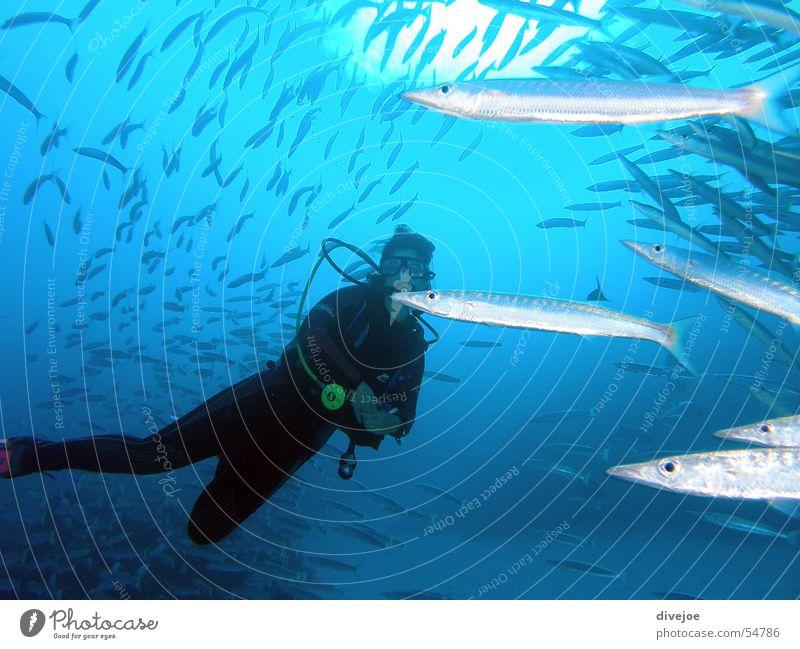 Taucherin in Barakudaschwarm Meer blau Fisch tauchen türkis Luftblase Taucher Ägypten Korallen Unterwasseraufnahme Fischschwarm Dahab Rotes Meer Barracuda