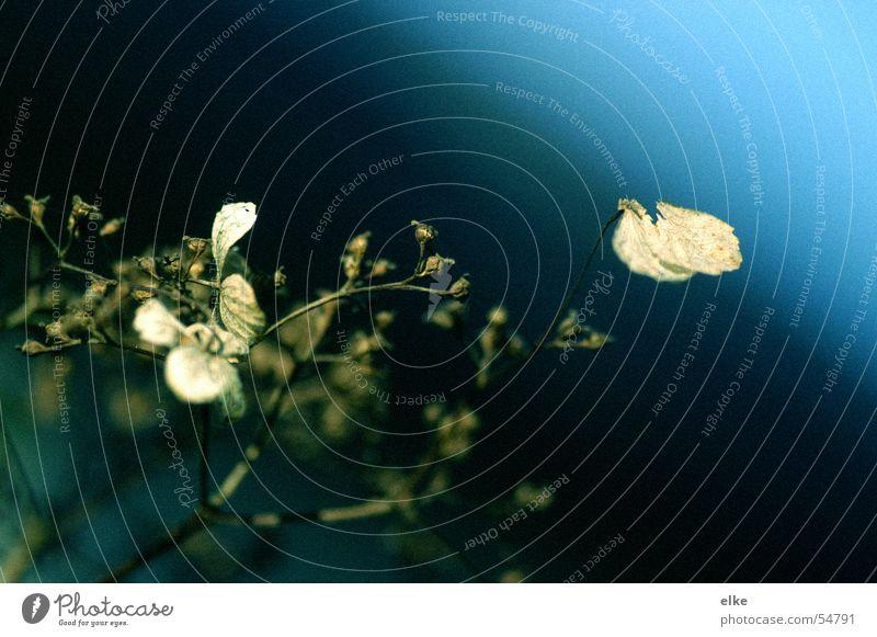 nach  aussen... Pflanze Verfall Wachstum Hortensie Blume Natur