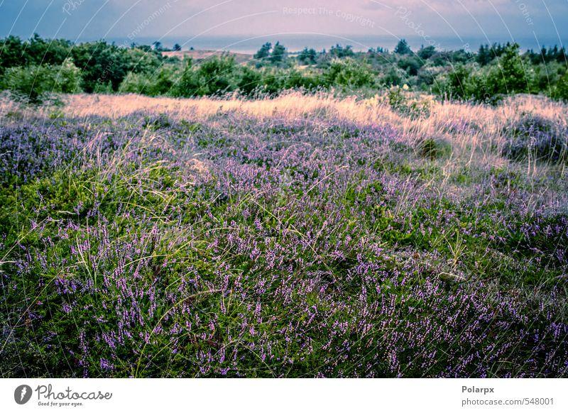 Heidefeld schön Sommer Garten Dekoration & Verzierung Natur Landschaft Pflanze Herbst Blume Gras Blüte Wiese natürlich wild grün rosa Farbe Bergheide purpur