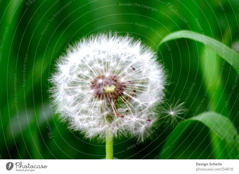 Flauschig Blume Löwenzahn grün Dinge Wiese Garten Natur Nahaufnahme detailansicht