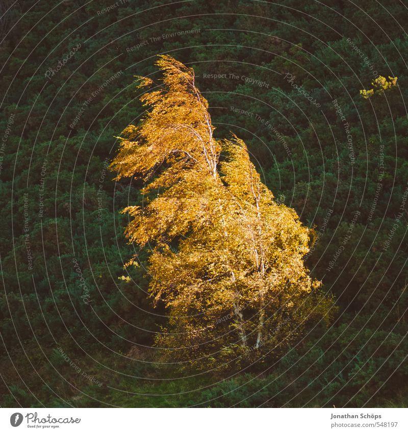 leuchtender Baum Umwelt Natur Landschaft Herbst Schönes Wetter Pflanze Wald Hügel hell orange Herbstfärbung Wind leuchtende Farben einzeln Birke Berghang