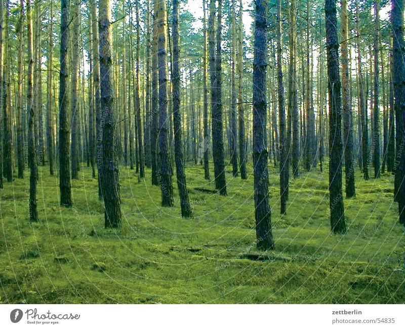 Kiefernwald grün Sommer Wald Dämmerung Brandenburg Kiefer Holzmehl Nadelwald