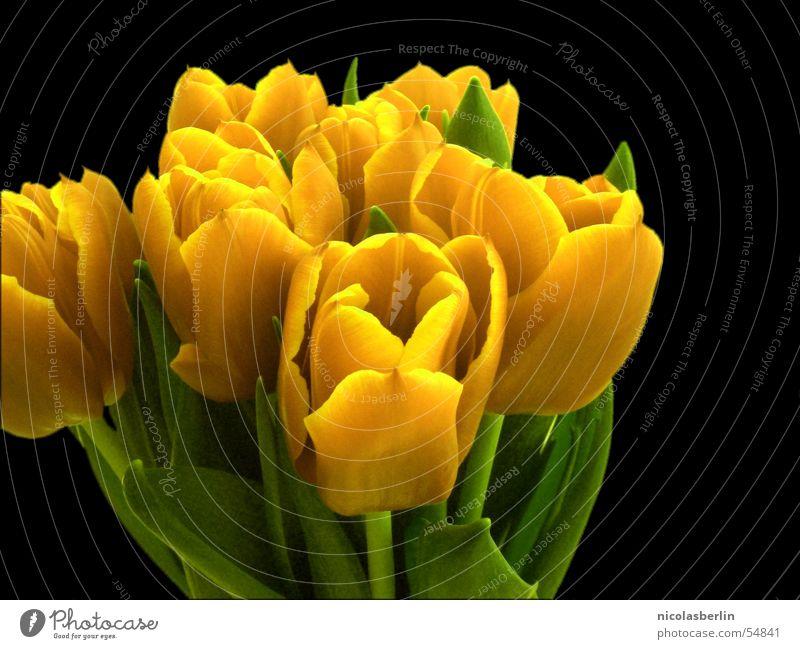 some flowers for you Blume Freude gelb Frühling Dekoration & Verzierung Blühend Tulpe Überraschung Valentinstag Freisteller