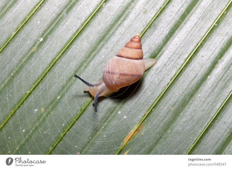 SCHNEGGE Schnecke Blatt Linie parallel gerade Natur Makroaufnahme Nahaufnahme Schneckenhaus Seychellen Afrika Fühler krabbeln Reptil funktionierend Praslin