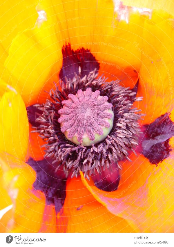 MohnStempel Blütenstempel Blume Farbe mehrfarbig