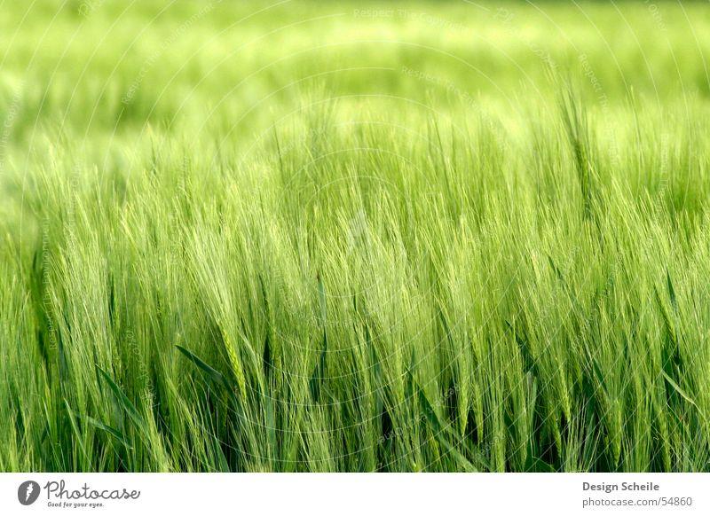 Im Wind Ähren Frühling grün Feld Landwirtschaft Getreide Natur Nahaufnahme ornfeld