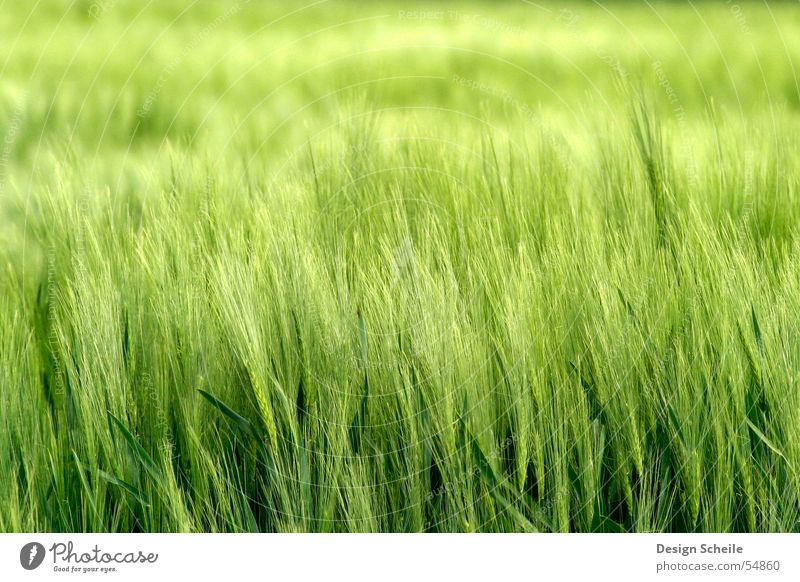 Im Wind Natur grün Frühling Feld Getreide Landwirtschaft Ähren