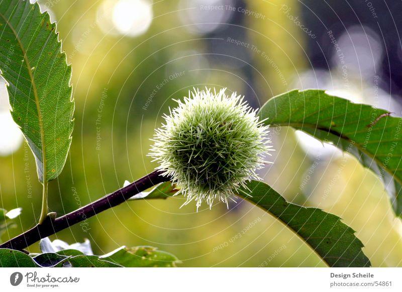 ganz schön stachelig Blume grün Wiese Stachel Garten Natur Nahaufnahme Detailaufnahme detailansicht