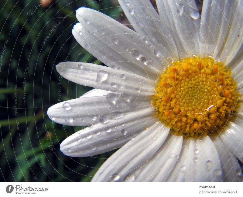 benetzt Blume Blüte Frühling Sommer margarithe Wassertropfen Detailaufnahme