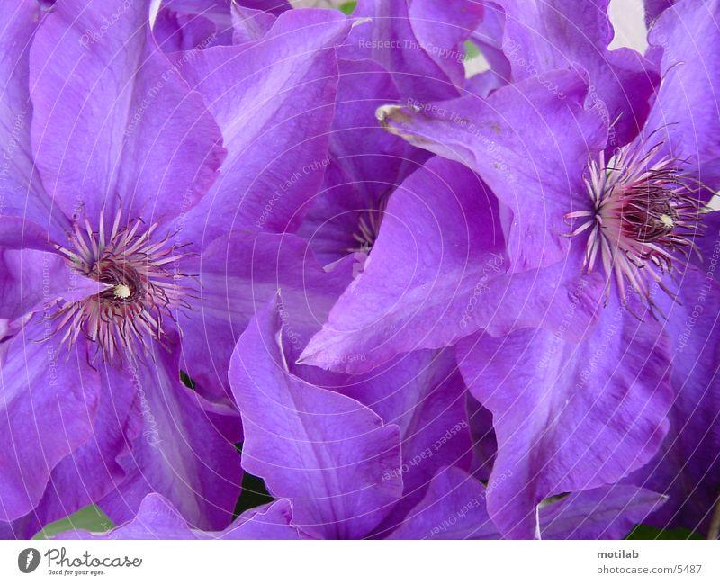 purpur Blume Blüte violett
