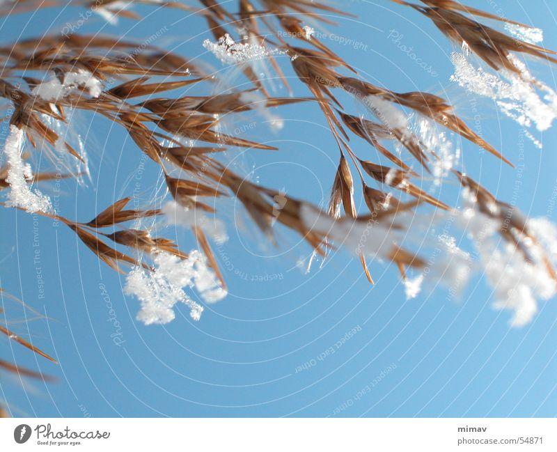 Spinnwebenreifhafer Himmel Sonne blau Winter Schnee braun Wind weich zart Nähgarn zerbrechlich Schneeflocke Spinnennetz Hafer
