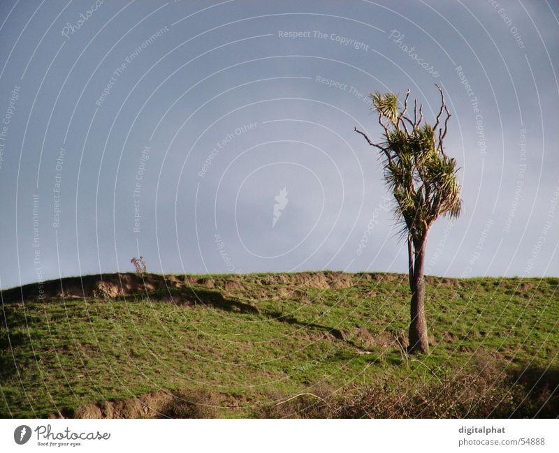 Cordyline Tree Himmel Baum Sonne Wolken Berge u. Gebirge gut Tanne Palme Australien Seeland