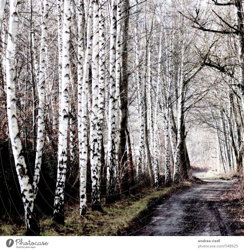 Birkenhain Umwelt Natur Landschaft Herbst Winter Pflanze Baum Gras Park Wiese Wald Menschenleer Wege & Pfade Holz Erholung Liebe positiv grau grün schwarz