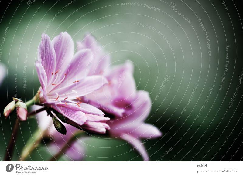 Flowers Umwelt Natur Pflanze Blüte Blume Garten Zierpflanze Gartenblume mehrfarbig grün violett rosa Farbfoto Außenaufnahme Nahaufnahme Morgen Schatten Kontrast
