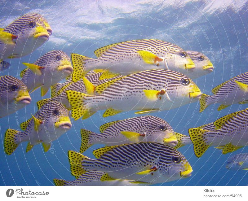 yellow fish swarm Meer tauchen Schnorcheln Great Barrier Reef