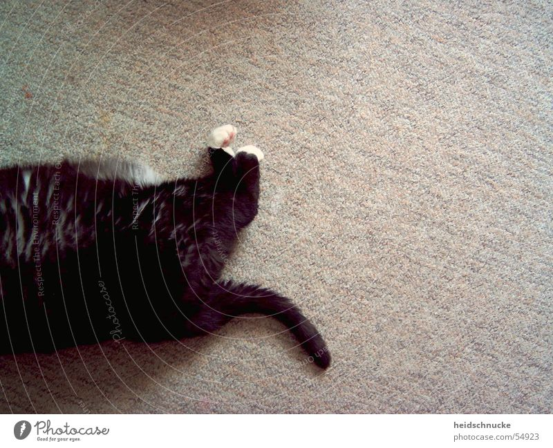 morgens, halb zehn.. schwarz Tier Erholung Katze braun schlafen Gesäß trist Pause Boden weich Bodenbelag liegen Hinterteil geheimnisvoll Übergewicht