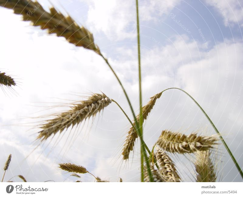 korn °1 Feld Sommer Korn Getreide