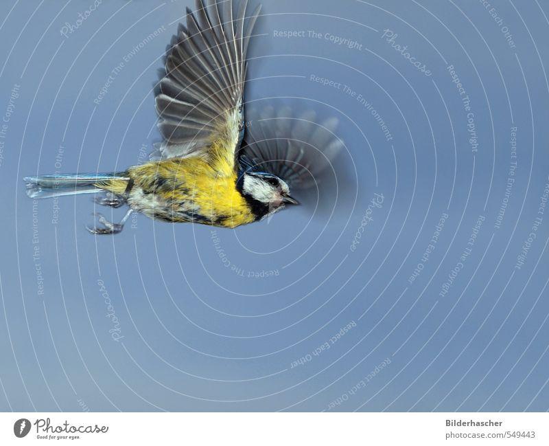 Fliegende Blaumeise Himmel klein Vogel fliegen Geschwindigkeit Flugzeug Feder Flügel Abheben aufsteigen Schwanz Schwung Vogelflug Krallen Singvögel ausgestreckt