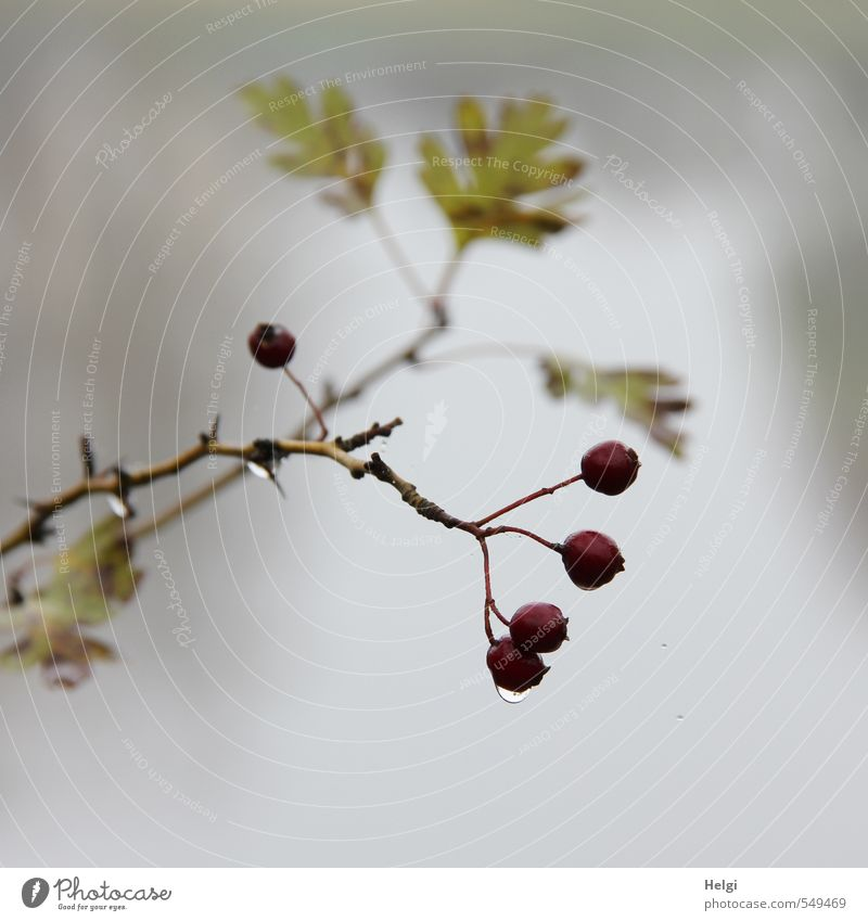 Novembeeren... Umwelt Natur Pflanze Wassertropfen Herbst Nebel Sträucher Blatt Wildpflanze Weissdorn Beeren Frucht Zweig Park hängen Wachstum authentisch dunkel