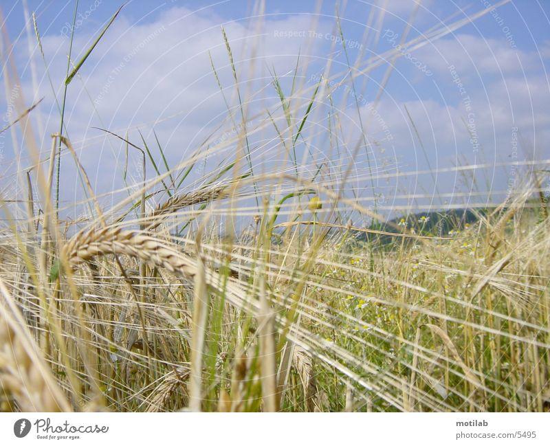 korn °2 Feld Sommer Korn Getreide