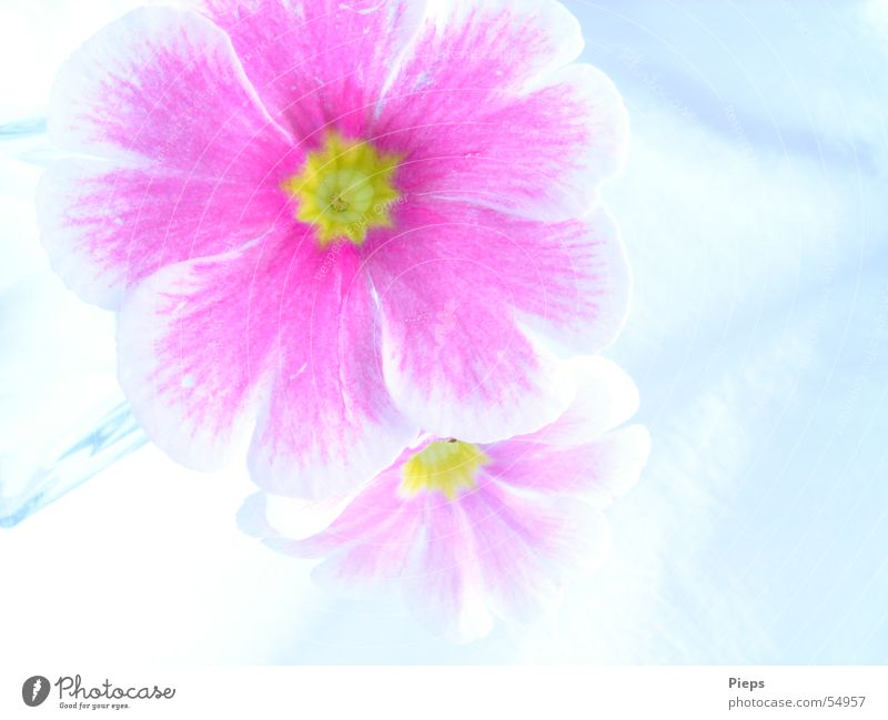 Pink Again Natur weiß Pflanze Blüte Frühling 2 rosa Blühend Wiesenblume Kissen-Primel
