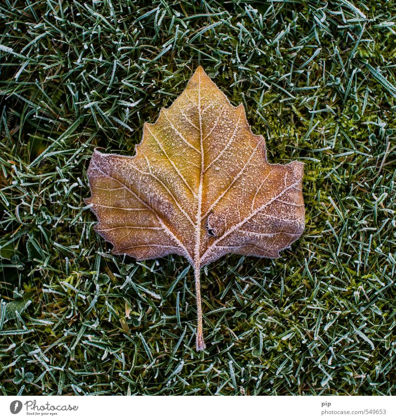 frostbraun Natur Herbst Winter Eis Frost Gras Blatt Wiese kalt grün Plantane Raureif Eiskristall gefroren Halm Farbfoto Gedeckte Farben abstrakt Muster