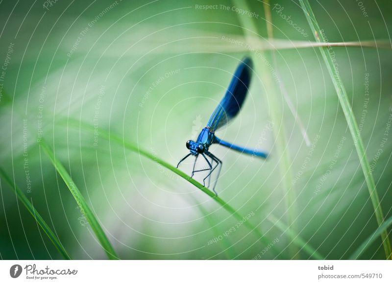Ready for take off Natur Gras Tier Flügel Libelle wasserjungfer 1 hocken ästhetisch glänzend natürlich schön elegant Farbfoto Außenaufnahme Makroaufnahme