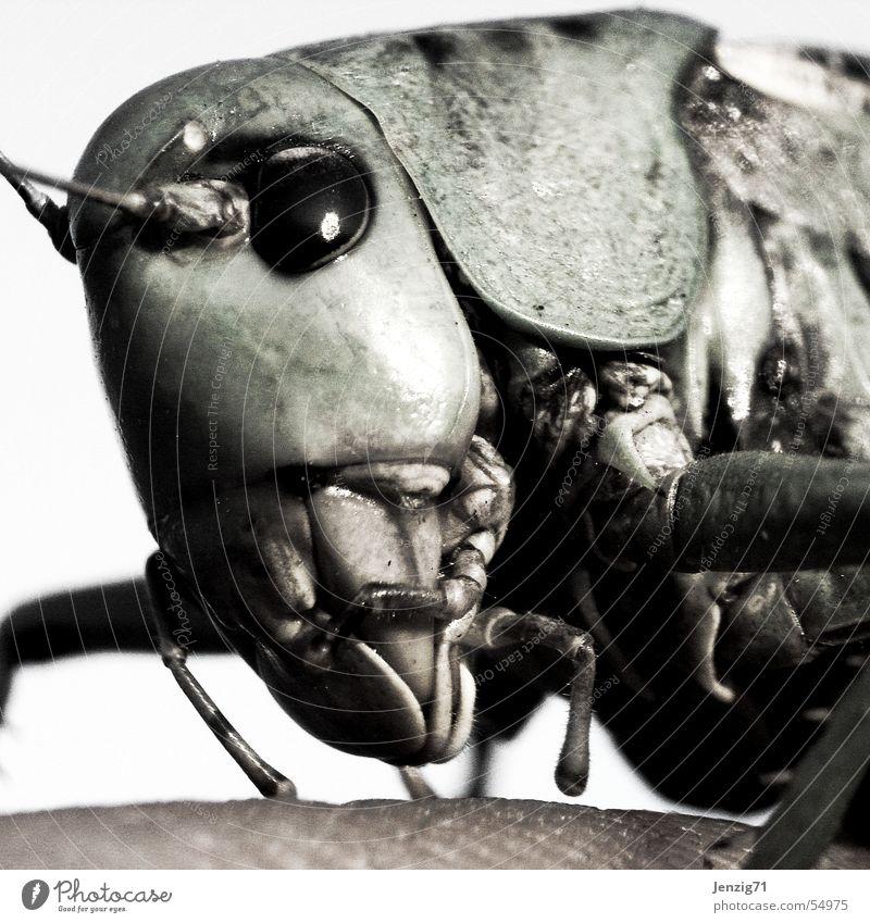 Warzenbeisser. Insekt nah beißen Heuschrecke Fresswerkzeug Grünes Heupferd Warzenbeißer