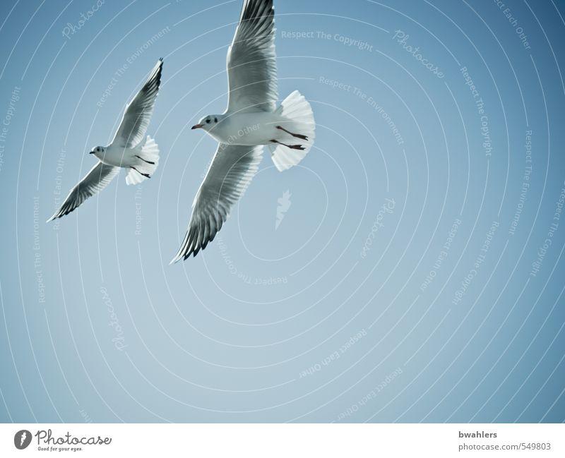Möwen Natur Tier Luft Himmel Wolkenloser Himmel Sonnenlicht Sommer Schönes Wetter Küste Seeufer Bodensee Wildtier Vogel 2 frei Glück hoch blau weiß fliegen