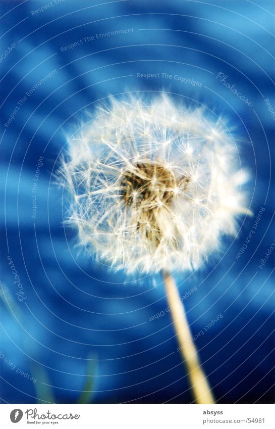 Puste-Blau Pflanze Blume Löwenzahn blasen Luft weiß Herbst Jahreszeiten Sommer Wind Natur blau