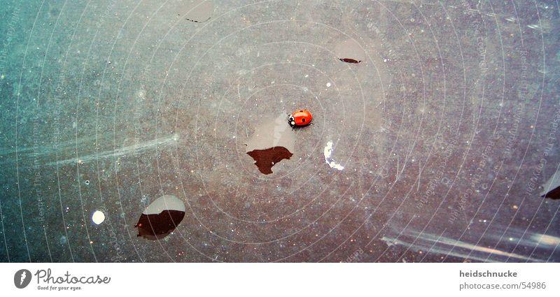Glück gehabt rot schwarz Tier Insekt Marienkäfer Käfer