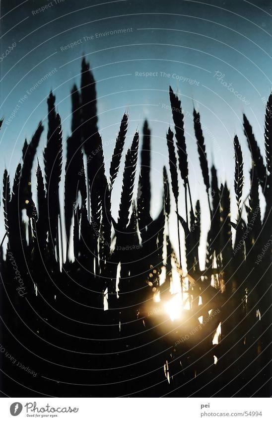 Pflanzen Weizen Gegenlicht