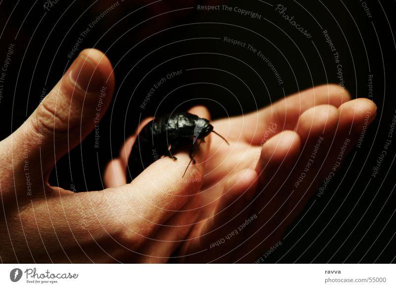 2 Hand Schiffsbug Schaben Gemeine Küchenschabe Insekt Arme cockroach black-beetle insect